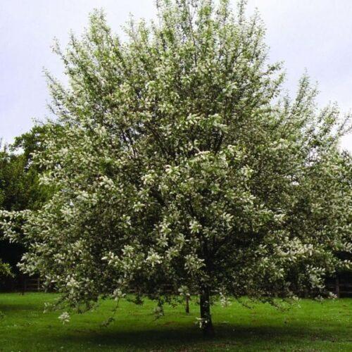 CALGARY'S MOST POPULAR TREES   A1 Tree Service, Calgary